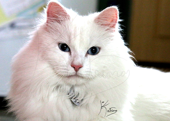 Lovely White British Longhair with Blue Eyes