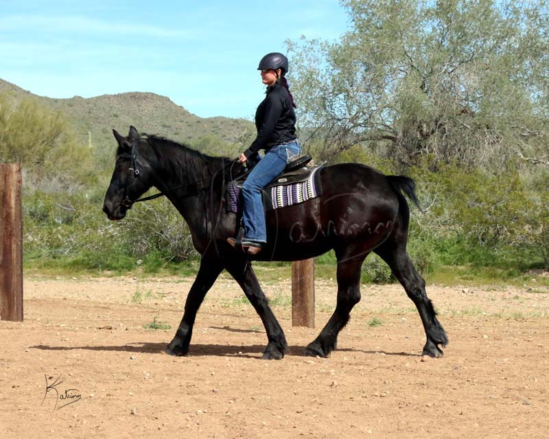 Black Percheron Mare Western Tack at the Jog