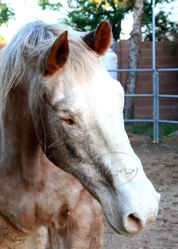 Blind Appaloosa Horse Face