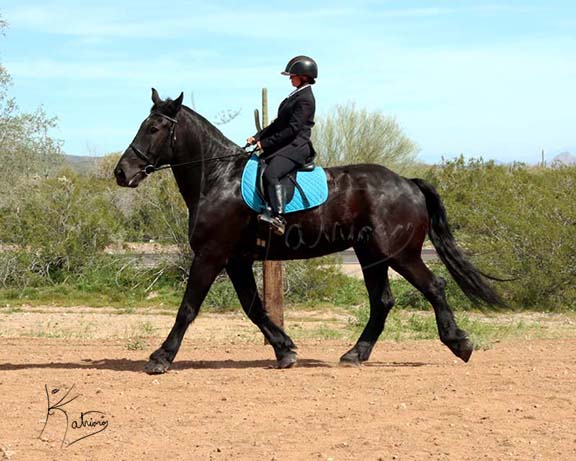 Black Percheron Gelding Trot English Tack